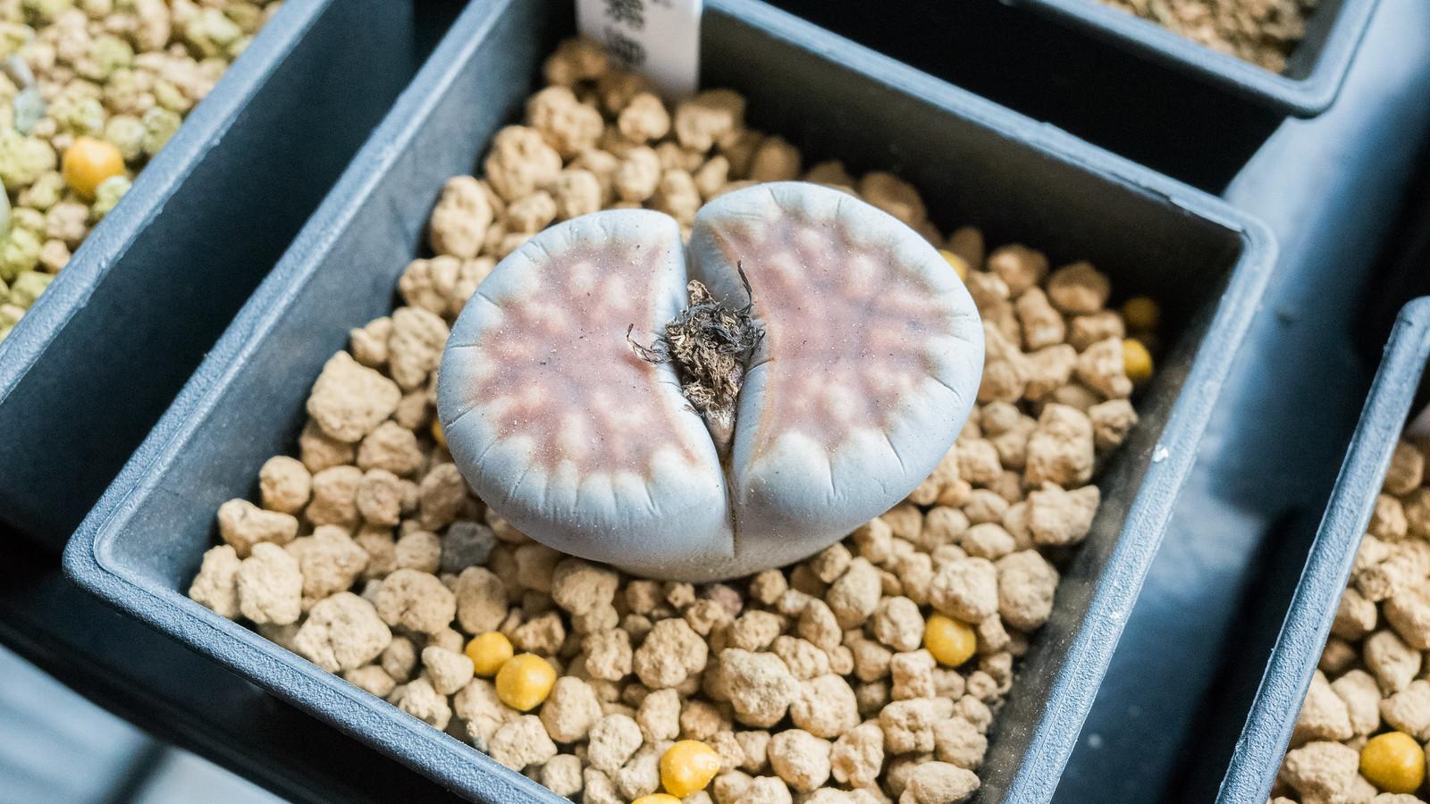 再次挑戰石頭玉 – 石頭玉 (C) 成長紀錄