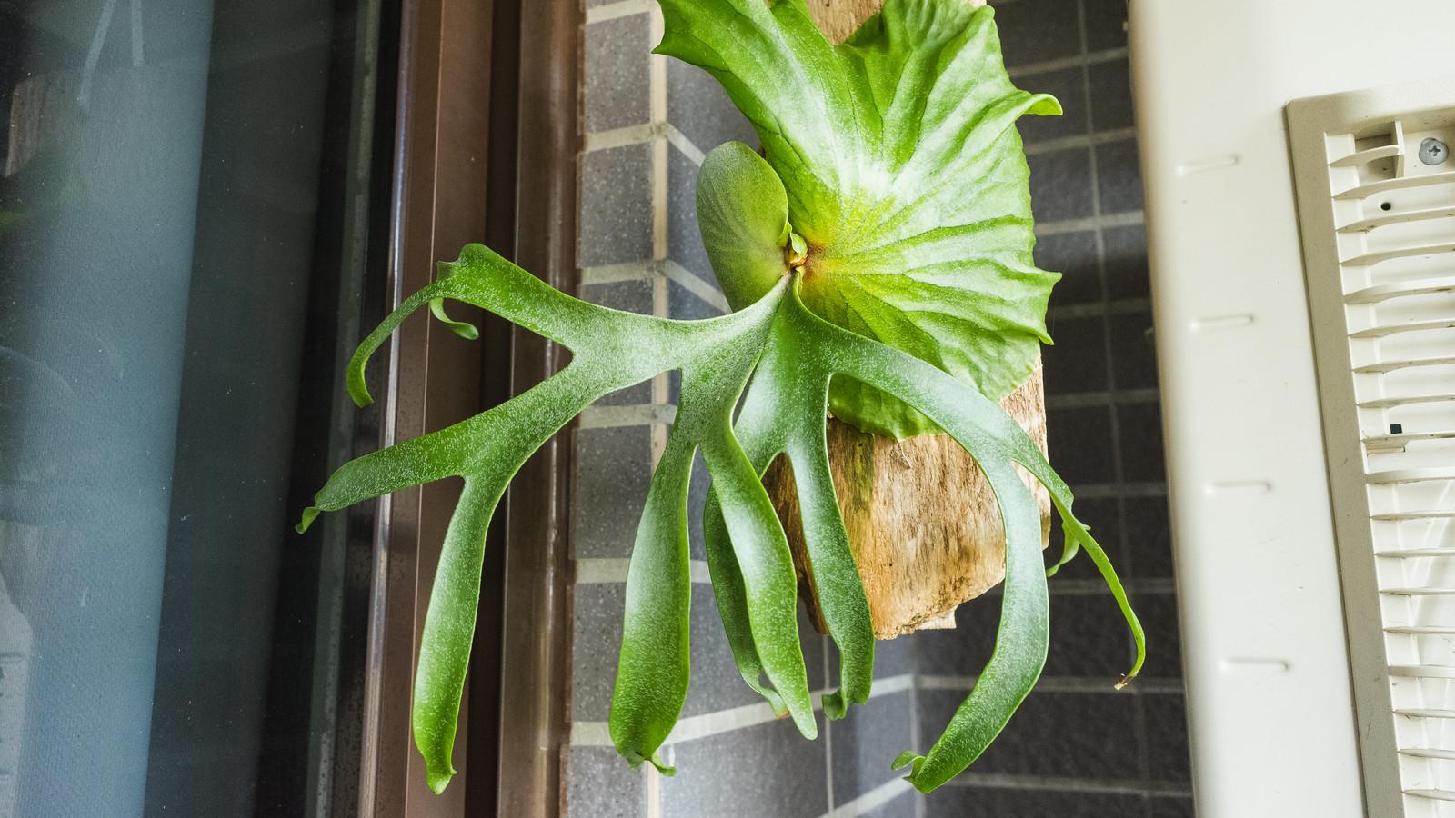 皇冠鹿角蕨成長紀錄