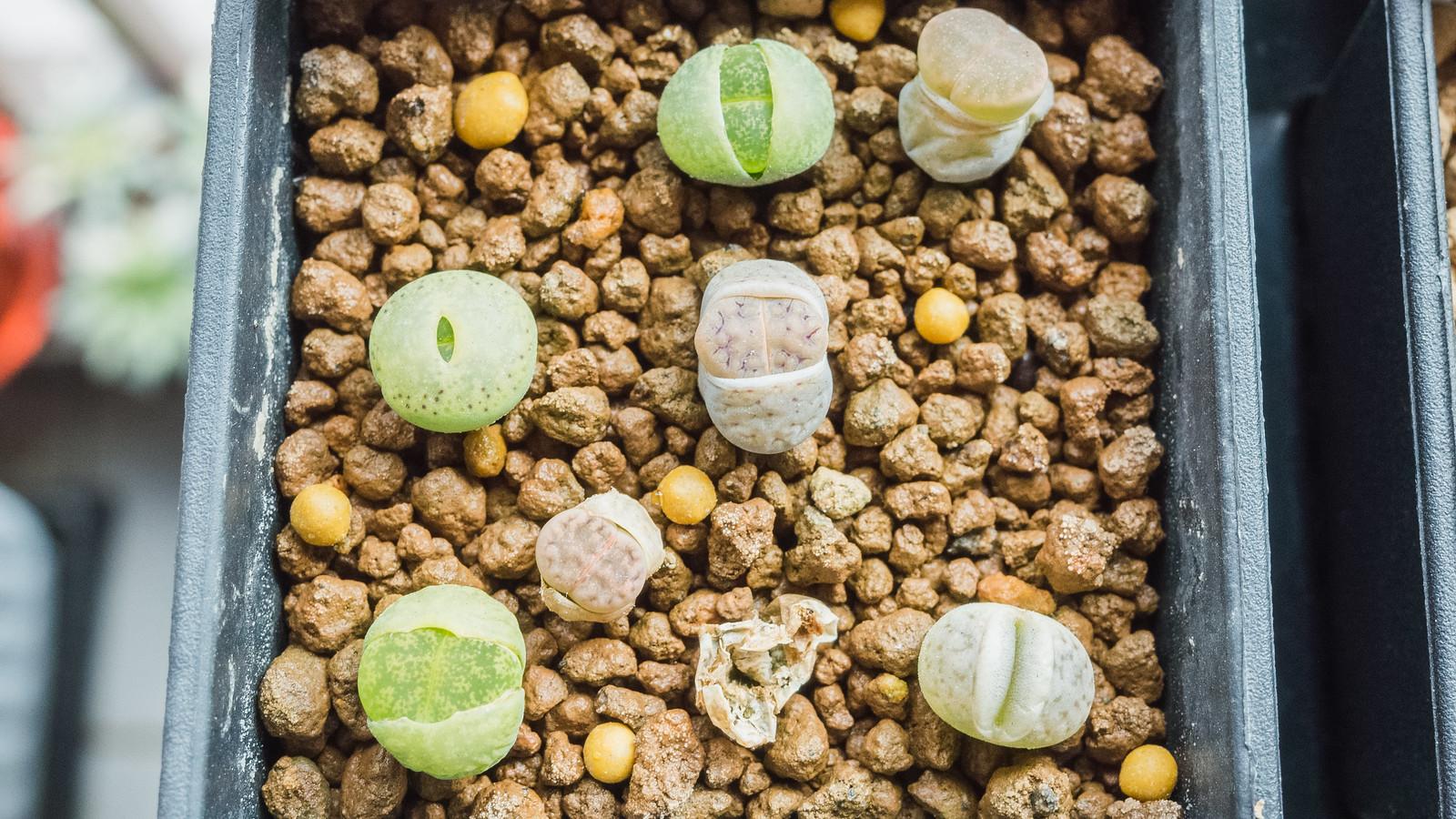 南非彩色石頭玉成長記錄