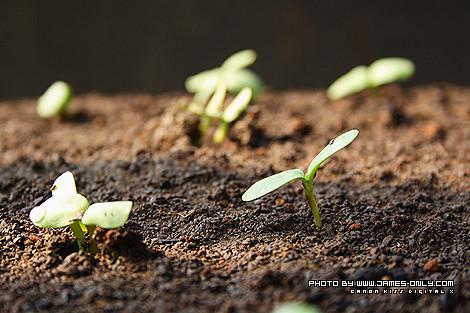 向日葵成長記錄(第 6 天)