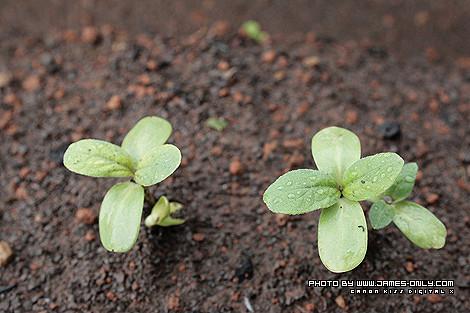 向日葵成長記錄(第 11 天)
