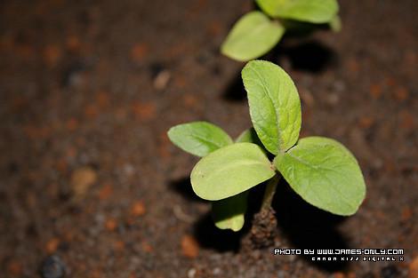 向日葵成長記錄(第 12 天)