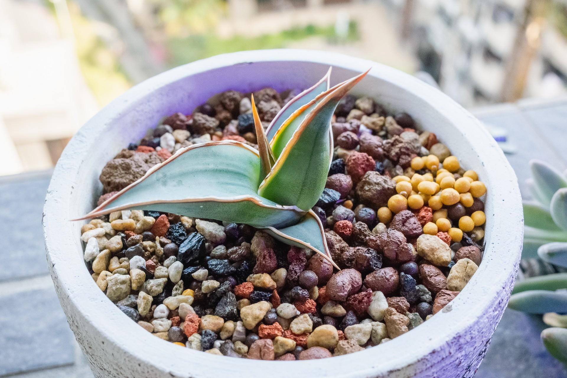 姬鮑魚虎尾蘭成長紀錄