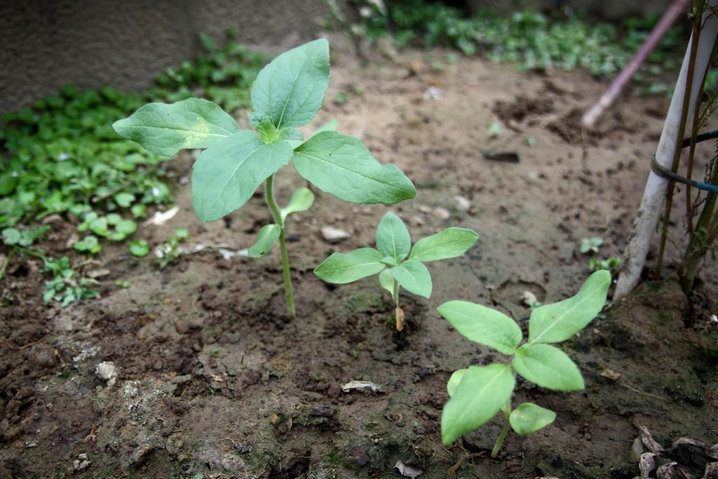 巨無霸向日葵成長紀錄(第 34 天)
